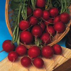 Radish Early Scarlet Globe Seeds